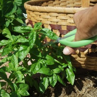 Preserving Garden Fresh Basil