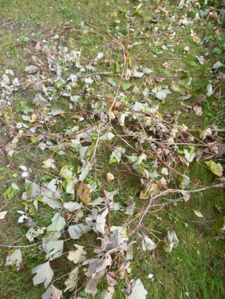 Pile of grape vines