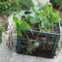 Growing Potatoes in a Crate-Trial Gardening