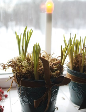 Forcing Spring-How to start bulbs inside